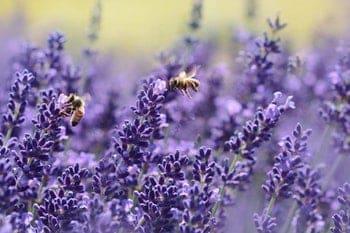 lavendel bloesem grote aantallen