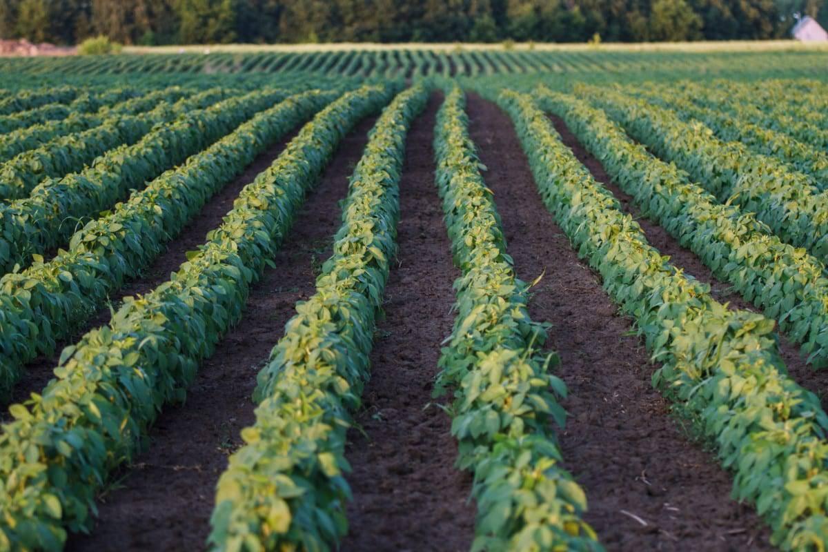 Sojabonen duurzamer dan vlees