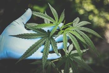 wietolie en slapen cannabis plant